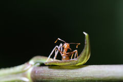 Ants walk on Leaf. Royalty Free Stock Images