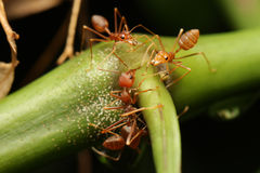Ants walk on the twigs. Stock Photos