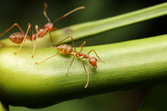 Ants walk on the twigs. Stock Photo