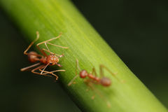 Ants walk on twigs. Royalty Free Stock Photography
