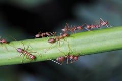Ants walk on twigs. Stock Photo