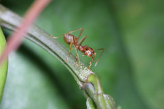 Ants walk on twigs. Royalty Free Stock Photo