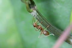 Ants walk on twigs. Royalty Free Stock Photos