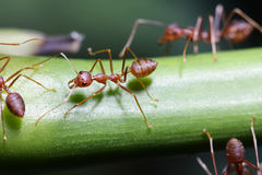 Ants walk on twigs. Stock Photography