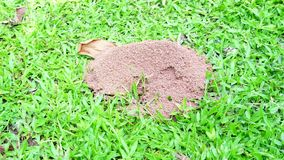 The ants walk up and down from the underground nest. stock video footage