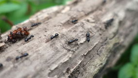 Ants walking on the branch in the forest, closeup stock video footage