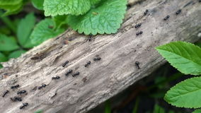 Ants walking on the branch in the forest, closeup, top view stock video footage