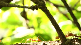 Ants are walking on a branch stock video footage