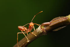 Ants walking on a branch. Stock Image