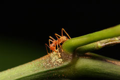 Ants walking on a branch. Royalty Free Stock Images