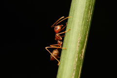 Ants walking on a branch. Royalty Free Stock Photography