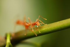 Ants walking on a branch. Stock Photos