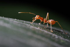 Ants walking on leaf. To foraging Royalty Free Stock Photos