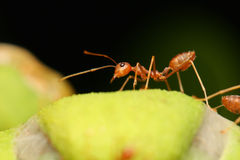 Ants walking on the Leaf. Royalty Free Stock Image