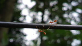 Ants. Walking over a cable looking at camera Stock Photo