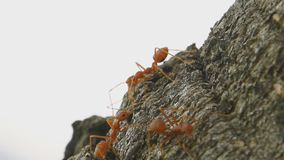 Ants walking stock video footage