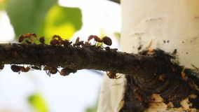 Ants walking on the tree. stock footage