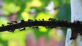 Ants walking on the tree. stock video footage