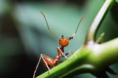 Ants walking on twigs Royalty Free Stock Images