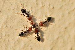 Ants war. Ants attacking  an  ant from another  nest Royalty Free Stock Photos