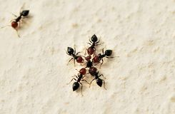 Ants war Royalty Free Stock Photos