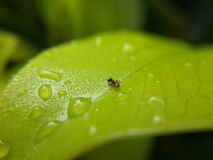 Ants  water drops on leaves Royalty Free Stock Photography