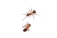Ants on a white background Stock Images