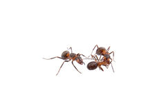 Ants on a white background Stock Photo
