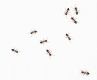 Ants on a white wall. close-up Royalty Free Stock Images