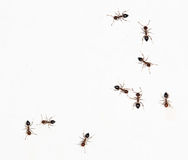 Ants on a white wall. close-up Stock Image