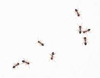 Ants on a white wall. close-up Royalty Free Stock Photos