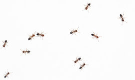 Ants on a white wall. close-up Stock Photo