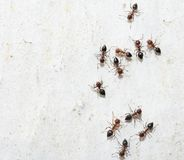 Ants on a white wall Stock Photo