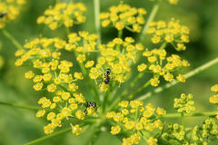 Ants on Wild Parsnip Flower Royalty Free Stock Images