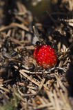 Ants and wild strawberry in an anthill Royalty Free Stock Photo