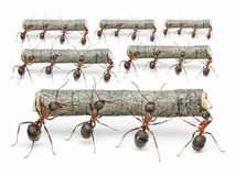 Ants work with logs, teamwork concept. Teams of ants work with logs,,  teamwork concept Royalty Free Stock Photos