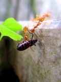 Ants work Royalty Free Stock Image