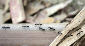 Ants are working. To transport food back into the kingdom. To be a seasoned supplier stock photo