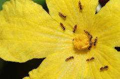 Ants working on the flower Royalty Free Stock Photos