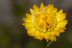Ants on Yellow Straw Flower Royalty Free Stock Photos