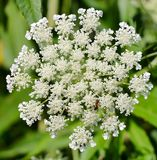 Ants In Your Plants. Queen Anne lace in a meadow in Northern Illinois during the summer stock photography