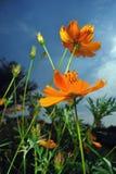 antseye το λουλούδι ημέρας βλέ&pi Στοκ εικόνα με δικαίωμα ελεύθερης χρήσης