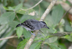 Antshrike salado occidental Fotos de archivo libres de regalías