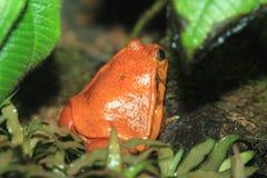 Antsouhy tomato frog Stock Image