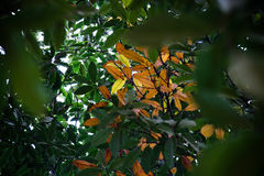 The antumn leaves in a tree in park Royalty Free Stock Image