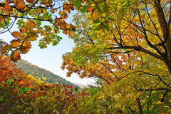 The antumn maple leaves of Zu mountain Royalty Free Stock Images