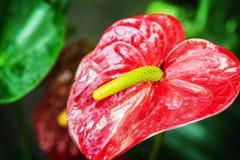Anturie flover που ανθίζει στον κήπο Στοκ εικόνα με δικαίωμα ελεύθερης χρήσης