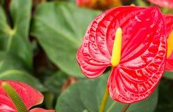 Anturio (anthurium andraeanum) Fotografia Stock