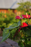 Anturio dei fiori Immagini Stock
