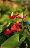 Anturio dei fiori Immagini Stock Libere da Diritti